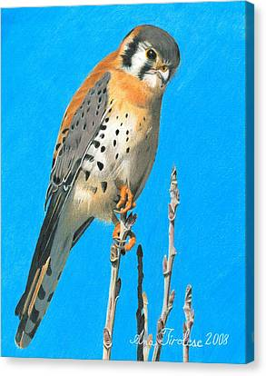 Canvas Print featuring the drawing Kestrel by Ana Tirolese