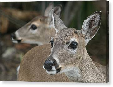 Key Deer Florida Canvas Print by Valia Bradshaw