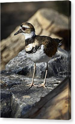Killdeer Canvas Print by Saija  Lehtonen