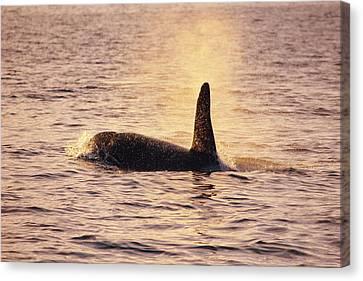Killer Whale Canvas Print by Alexis Rosenfeld