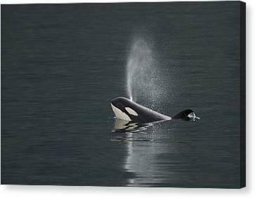 Killer Whale Calf Blows As It Surfaces Canvas Print by Ralph Lee Hopkins
