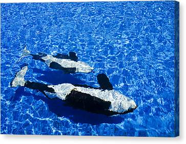 Killer Whales Canvas Print by Dave Fleetham - Printscapes