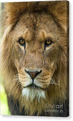 King Canvas Print by Andrew  Michael