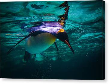 King Dive Canvas Print