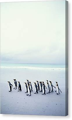 King Penguins (aptenodytes Patagonicus) Falkland Islands Canvas Print by Kim Heacox