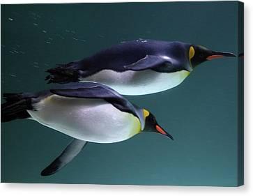 King Penguins Australia Canvas Print by Timphillipsphotos
