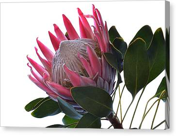 King Protea. Canvas Print by Terence Davis