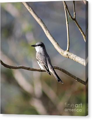 Kingbird Canvas Print