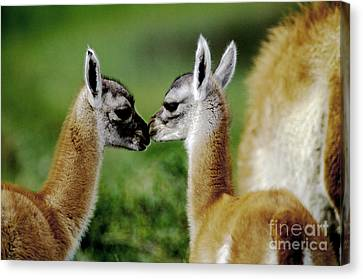 Canvas Print featuring the photograph Kissing Guanacos - Torres Del Paine Np Chile by Craig Lovell