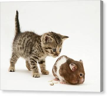 Kitten And Hamster Canvas Print by Jane Burton