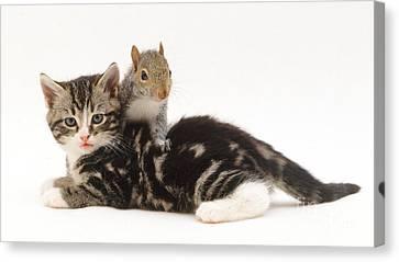 Kitten And Squirrel Canvas Print by Jane Burton