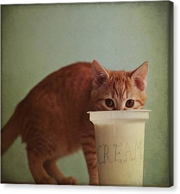 Kitten Eating From Big Pot Of  Cream Canvas Print by By Julie Mcinnes