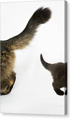 Kitten Looking Up At Mothers Tale. Canvas Print by Nicola Tree