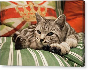 Kitten Lying On Striped Couch Canvas Print by Kim Haddon Photography