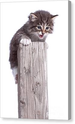 Kitten On Wooden Post Canvas Print