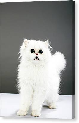Kitten Portrait Canvas Print by Martin Poole