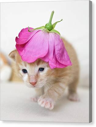 Kitten Walking With Flower Hat Canvas Print by Sanna Pudas
