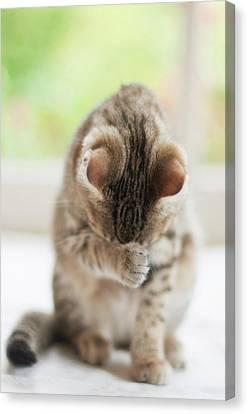 Kitten Washing Canvas Print by Jill Ferry