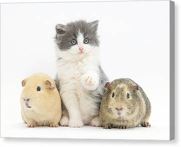 Cavy Canvas Print - Kitten With Guinea Pigs by Mark Taylor