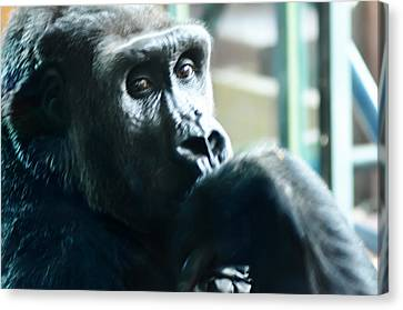 Kivu The Gorilla Canvas Print by Bill Cannon