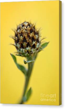 Thistle Canvas Print - Knapweed Plant by Elena Elisseeva