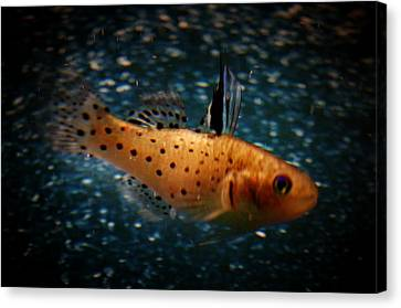 Knight Goby Canvas Print by Gerald Kloss