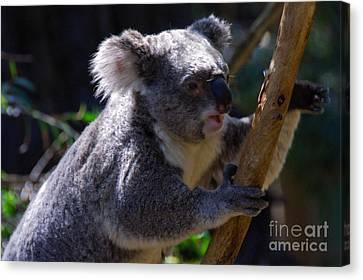 Koala In A Gum Tree Canvas Print by Rob Hawkins