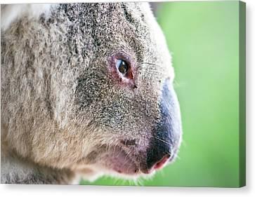 Koala Profile Portrait Canvas Print