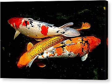 Koi Story Three E Canvas Print by Randall Weidner