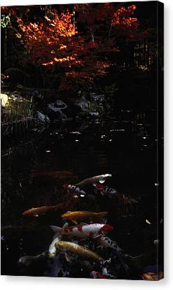 Koi Swim In A Pool Located Canvas Print by Sam Abell