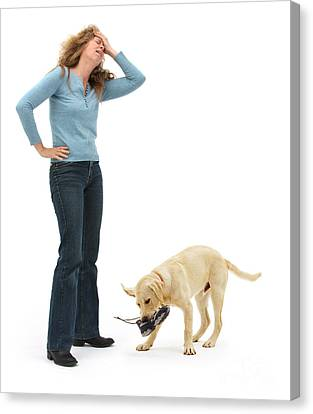 Disobedient Canvas Print - Labrador Golden Retriever Pup Chewing by Mark Taylor