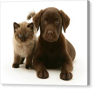 Labrador Pup And Birman-cross Kitten Canvas Print by Jane Burton