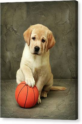 Labrador Puppy With Red Ball Canvas Print by Sergey Ryumin