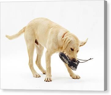 Labrador X Golden Retriever Puppy Canvas Print