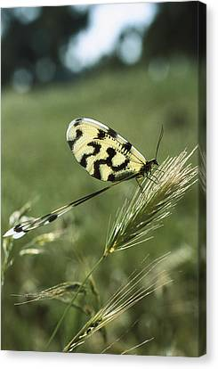 Lace-wing Butterfly Canvas Print by Konrad Wothe