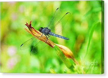 Canvas Print featuring the photograph Lace Wings by Cindy Manero