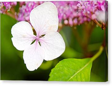 Lacecap Hydrangea Petal Canvas Print by MaryJane Armstrong