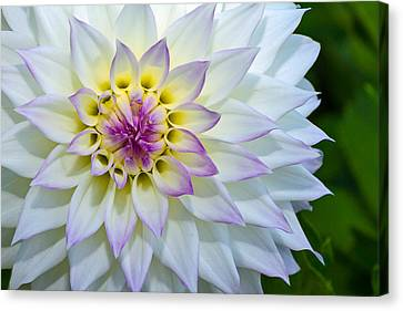 Canvas Print featuring the photograph Lady Dahlia by Ken Stanback