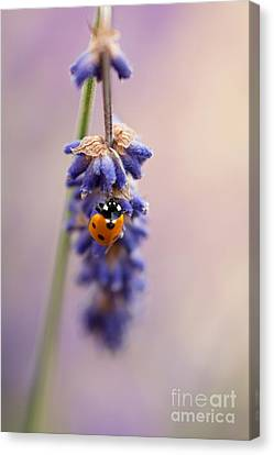 Ladybird And Lavender Canvas Print by John Edwards