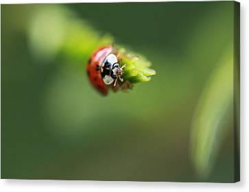 Ladybug 2 Canvas Print by Pan Orsatti
