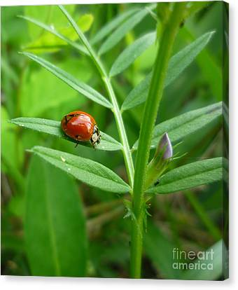 Canvas Print featuring the photograph Ladybug And Bud by Renee Trenholm