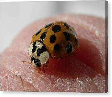 Canvas Print featuring the photograph Ladybug On Finger by Chad and Stacey Hall
