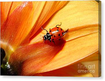 Ladybug On Orange Yellow Dahlia . 7d14686 Canvas Print by Wingsdomain Art and Photography