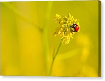 Ladybug On Yellow Flower Canvas Print by Hegde Photos