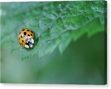 Ladybug Posing On Astilbe Leaf Canvas Print