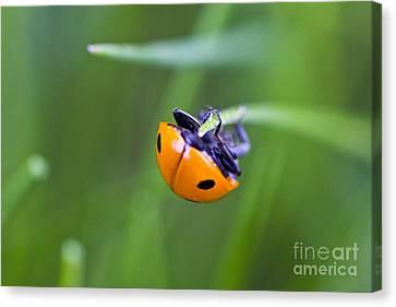 Ladybug Topsy Turvy Canvas Print by Donna Munro