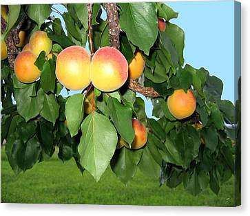 Canvas Print featuring the photograph Lake Country Apricots by Will Borden