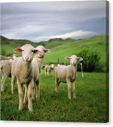 Lambs In Wyoming Canvas Print by Danielle D. Hughson