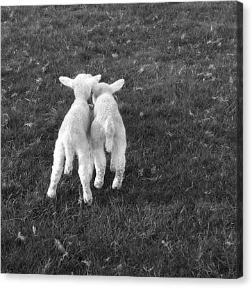 Lambs Canvas Print by Michael Standen Smith