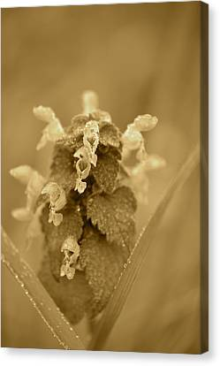 Lamium In Sepia Canvas Print by JD Grimes
